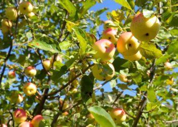 Ученые спасают яблони Сиверса от исчезновения 5