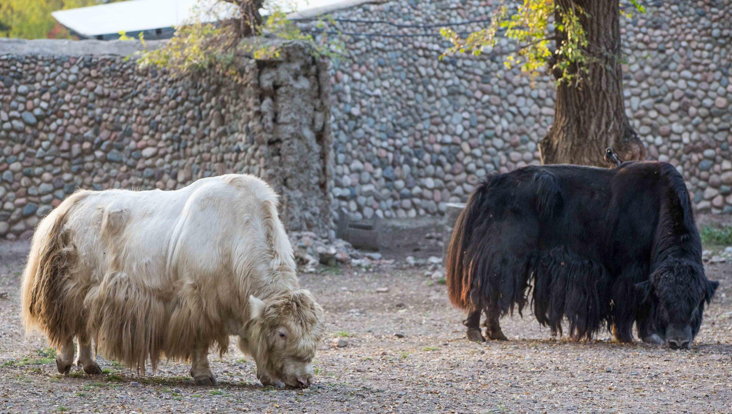 Хэллоуин в Алматинском зоопарке. Ночная жизнь хищников и самый милый на планете гиббон