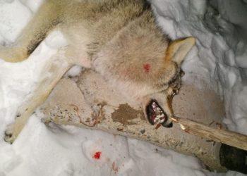 Волк напал на сельчанина в Алматинской области