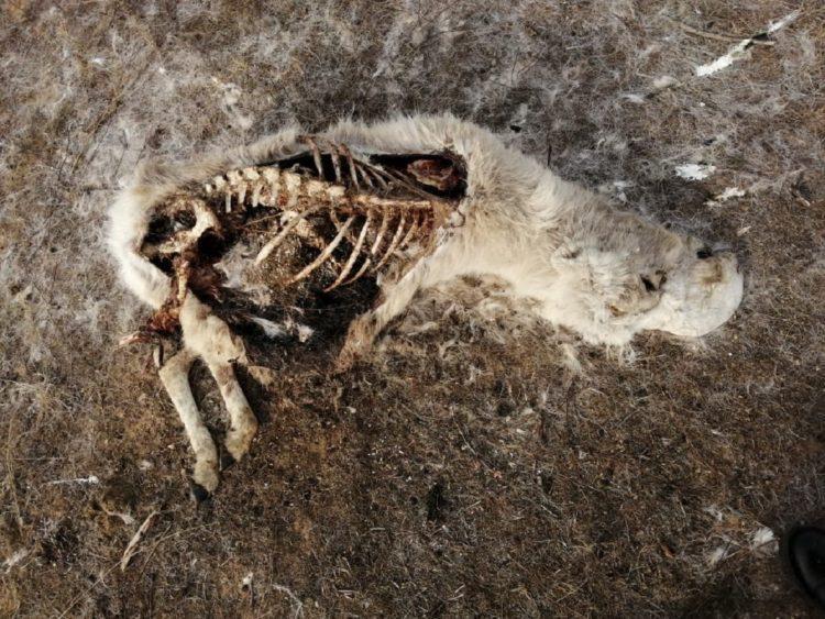 Полсотни туш сайгаков с отпиленными рогами обнаружены в ЗКО