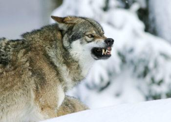 В Казахстане утвердили лимит на волка и шакала на 2020 год