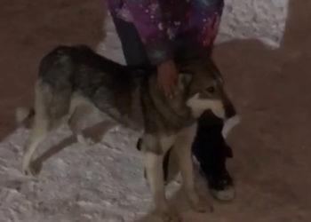 Бродившая в Нур-Султане собака, похожая на волка, вернулась к хозяйке