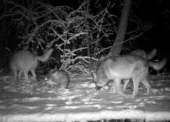 Волки напали на овец в Павлодарской области