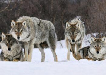 Фейком назвали в Минэкологии слухи о стае волков, движущейся в Казахстан из России