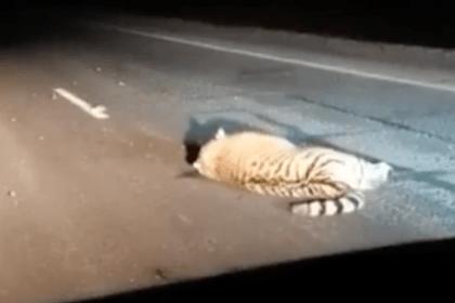 Амурского тигра насмерть сбили в России
