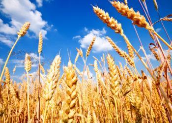 Казахстан ограничит экспорт зерна и муки