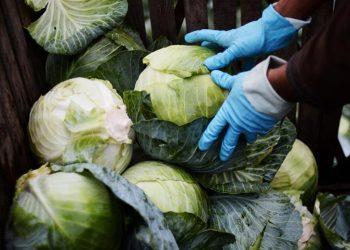 300 тонн капусты направит в детские дома и малобеспеченным казахстанцам Туркестанская область
