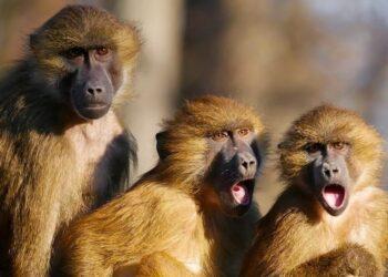 Дикие обезьяны похитили пробирки с коронавирусом в Индии 1