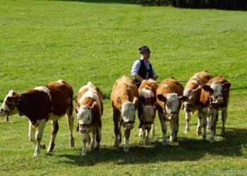 Жители Павлодарской области пригнали коров на газон перед акиматом