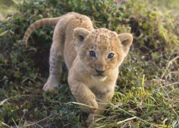 Суд конфисковал у жителя Павлодара африканского львенка