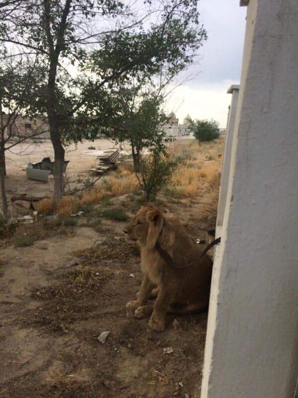 Потерявшегося львенка поймали в Мангистауской области 1
