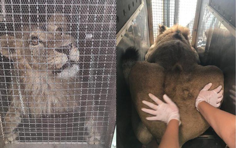Львенок из Актау готовится к перелету в Алматы 1