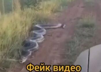 Видео об «анаконде в окрестностях Алаколя» оказалось смонтированным 1