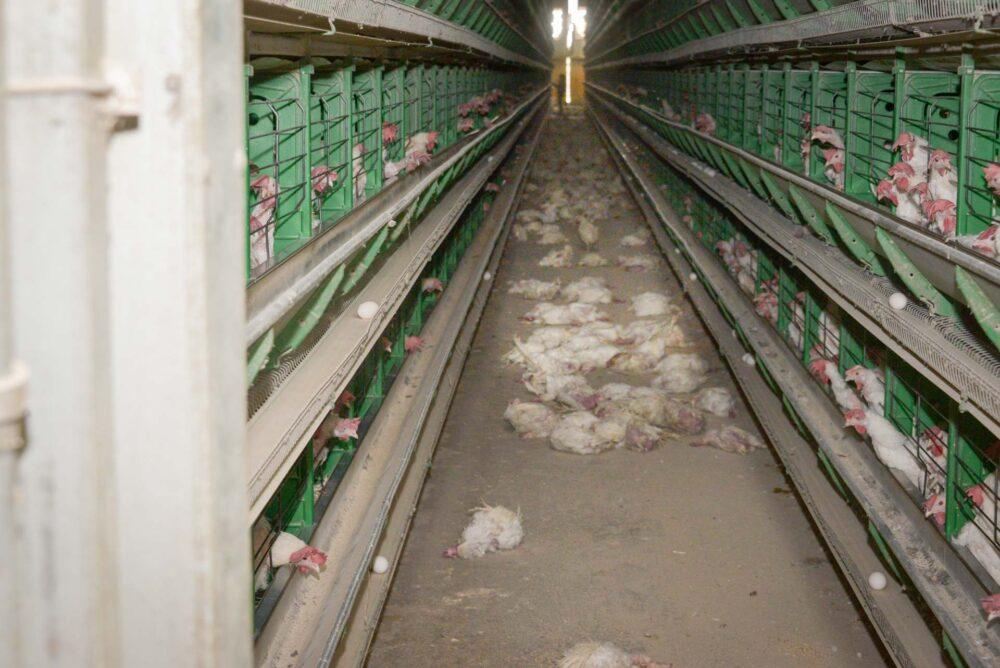 Птицефабрика в СКО на грани закрытия из-за птичьего гриппа