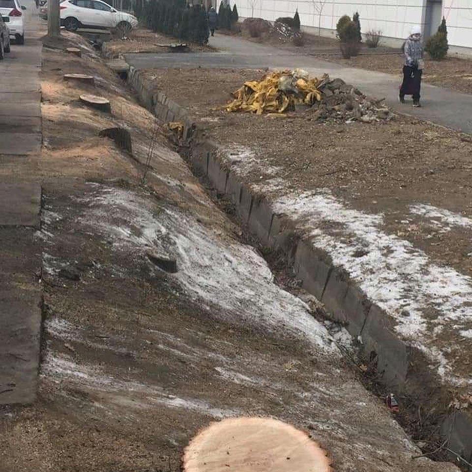 Sulpak не виноват, акимат не знал - а в Алматы вырубили 13 деревьев 1