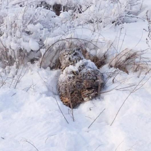 Устькаменогорцы спасли замерзающего филина 1