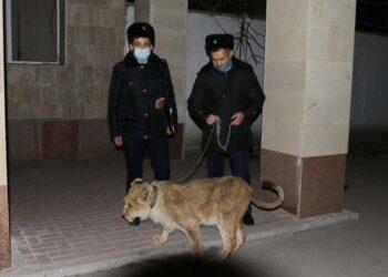 В Шымкенте полицейские нашли пропавшего из гостиницы львенка 3