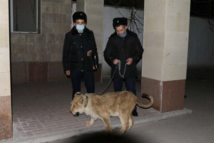В Шымкенте полицейские нашли пропавшего из гостиницы львенка 1