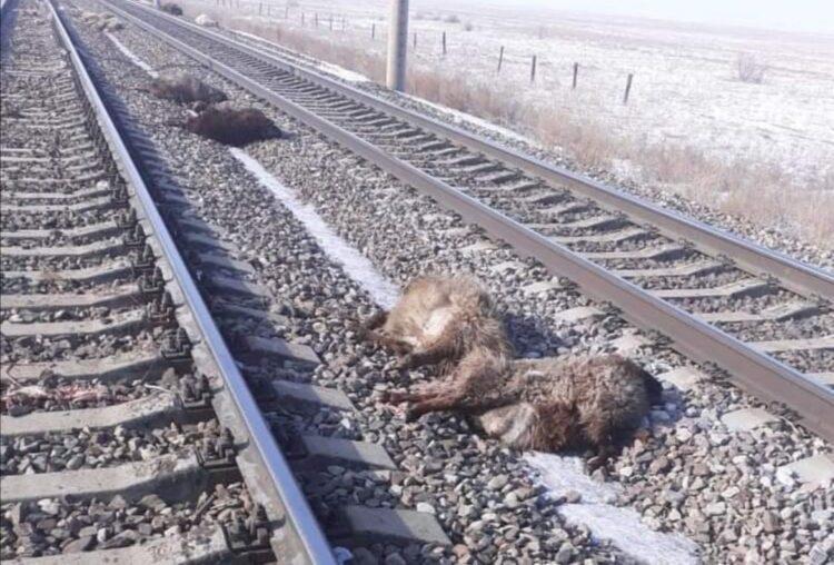 Грузовой поезд сбил стадо овец в Алматинской области 1