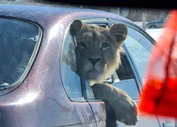 Лев в машине: в Минэкологии выяснили кому принадлежит животное 2