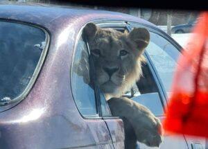 Лев в автомобиле: в Караганде оштрафовали таксиста 1