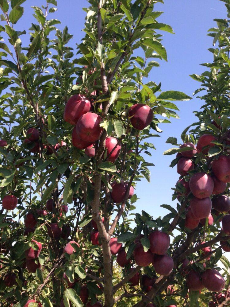Возрождают яблоневые сады 1