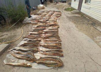 В пригороде Атырау незаконно хранили почти тонну осетра 1