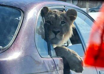 Лев в машине: в Минэкологии выяснили, кому принадлежит животное 1
