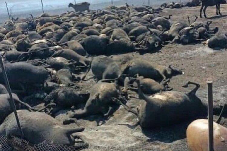 Скот массово гибнет из-за степных пожаров в Карагандинской области 1