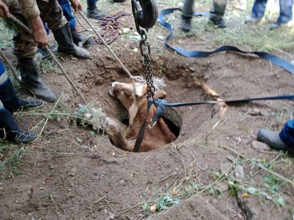 В Усть-Каменогорске корова провалилась в канализационный люк