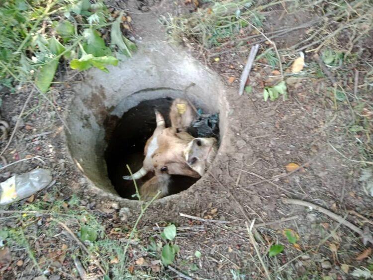 В Усть-Каменогорске корова провалилась в канализационный люк 1